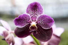 Beautiful purple orchid flower close-up Stock Photos