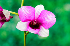 Beautiful purple orchid flower. Stock Photography