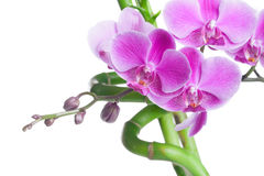 Beautiful purple orchid flowers and bamboo Royalty Free Stock Photography