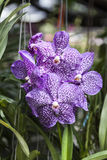 Beautiful purple orchid flowers on a branch in a garden of orchids close up. Stock Photo