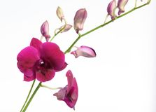 Beautiful purple orchid flower isolated on white background stock photo