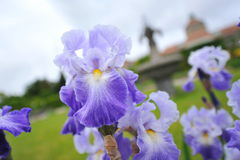 Beautiful purple orchid flowers Stock Images