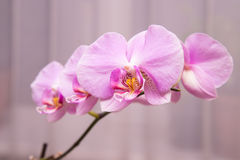 Beautiful purple orchid flowers Royalty Free Stock Images