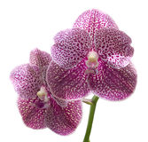 Beautiful purple orchid isolated Stock Photos