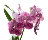 Beautiful purple orchid isolated Royalty Free Stock Photo