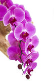 Beautiful purple orchid  - phalaenopsis Royalty Free Stock Photo