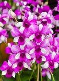 Beautiful purple orchid - phalaenopsis Stock Photography