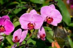 Beautiful purple orchid, phalaenopsis Stock Photo