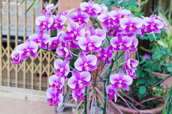 Beautiful purple orchid  phalaenopsis Stock Photos