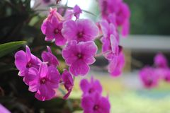 Beautiful purple orchid - phalaenopsis Background blur royalty free stock photos
