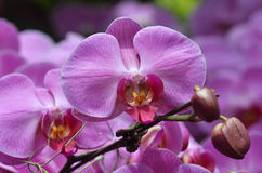Beautiful purple orchid, phalaenopsis. Stock Photos