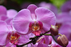Beautiful purple orchid, phalaenopsis. Stock Photography