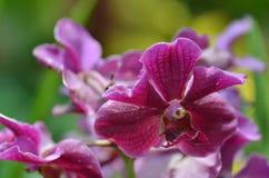 Beautiful purple orchid, phalaenopsis. Stock Images