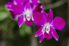 Beautiful purple orchid - phalaenopsis Stock Photos
