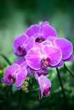 Beautiful purple orchid - phalaenopsis Stock Image
