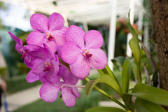 Beautiful purple orchid phalaenopsis on natural background Royalty Free Stock Photos