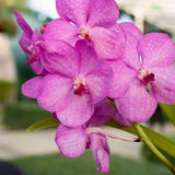 Beautiful purple orchid phalaenopsis on natural background Royalty Free Stock Photo