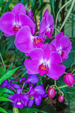 Beautiful purple orchid - phalaenopsis Stock Photography