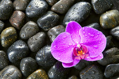 Beautiful purple orchid, rocks and water droplets. Stock Photos