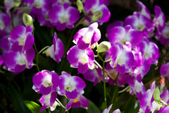 Beautiful purple orchid. In thailand Stock Photo