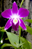 Beautiful purple orchid Royalty Free Stock Image