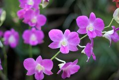 Beautiful purple orchid in Thailand Royalty Free Stock Photography