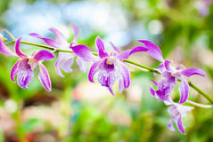 Beautiful purple orchid. Royalty Free Stock Image