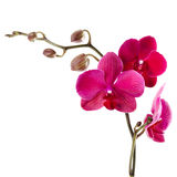 Beautiful purple orchid on a white background Royalty Free Stock Photo