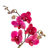 Beautiful purple orchid on a white Stock Images