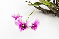 Beautiful purple orchid on white Royalty Free Stock Photo