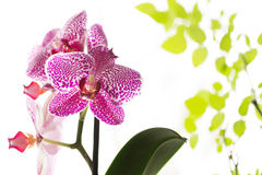Beautiful purple orchid on white background with green rose leaves. Beautiful purple orchid with green rose leaves Royalty Free Stock Photo
