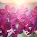 Beautiful purple orchids flower tree and sunrise. Royalty Free Stock Image