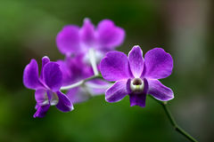 Beautiful Purple Orchid Flower. Purple Orchids in Thailand. Soft natural light. Taken with Canon 5D MK IV 70-200mm IS II USM Stock Images