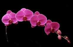 Beautiful purple orhid on black. Beautiful orhid flower black background blossom bright colorful Stock Photography