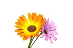 beautiful purple osteospermum or african daisy pink flower Royalty Free Stock Photos