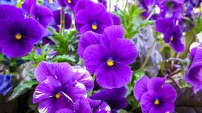 Beautiful Purple Pansies royalty free stock photo