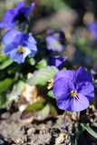 Beautiful Purple Pansy Flowers Blooming royalty free stock image