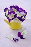 Beautiful purple pansy flowers Stock Photos