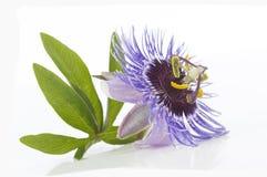 Beautiful purple Passiflora on white background Royalty Free Stock Photography