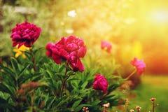Beautiful purple peonies blooming in summer garden. Growing flowers in private garden. Or backyard stock photo