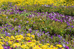 Beautiful purple petunia flowers in flowerbed with other yellow flowers Royalty Free Stock Images