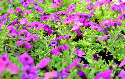Beautiful Purple Petunia Flowers Royalty Free Stock Photos