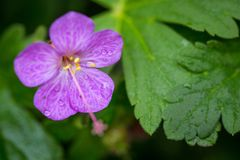 Beautiful purple ping small flowers isolated with blurred green background.  royalty free stock images