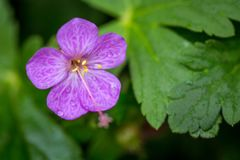 Beautiful purple ping small flowers isolated with blurred green background.  royalty free stock photography