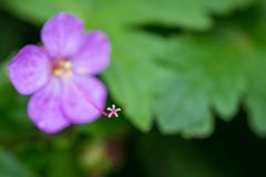 Beautiful purple ping small flowers isolated with blurred green background.  royalty free stock photo