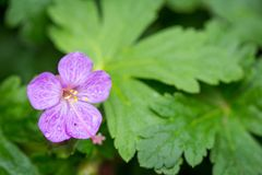 Beautiful purple ping small flowers isolated with blurred green background.  stock image