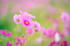 Beautiful purple and pink flower in a garden Royalty Free Stock Photography