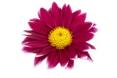 Beautiful purple pink flower isolated. On white Stock Image