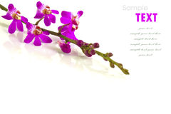 Beautiful purple-pink flower (Orchid) isolated Stock Photo