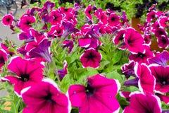 Beautiful purple pink flowers blooming stock image